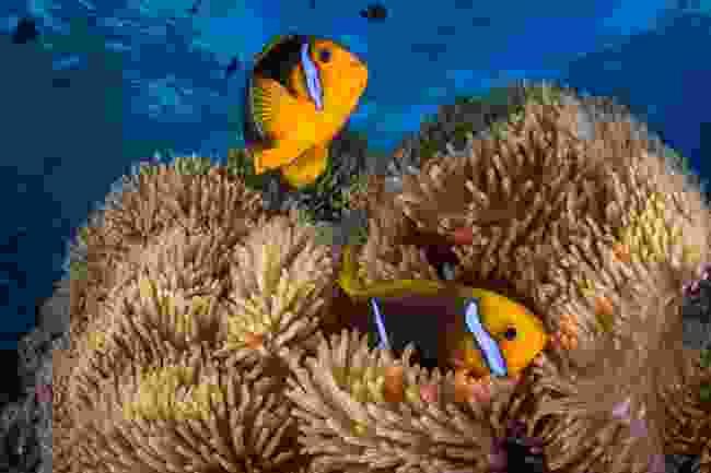 Clownfish in Tahiti (Gregory Lecoeur)