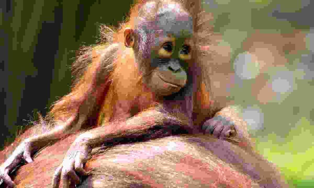 A baby orangutan in Borneo (Dreamstime)