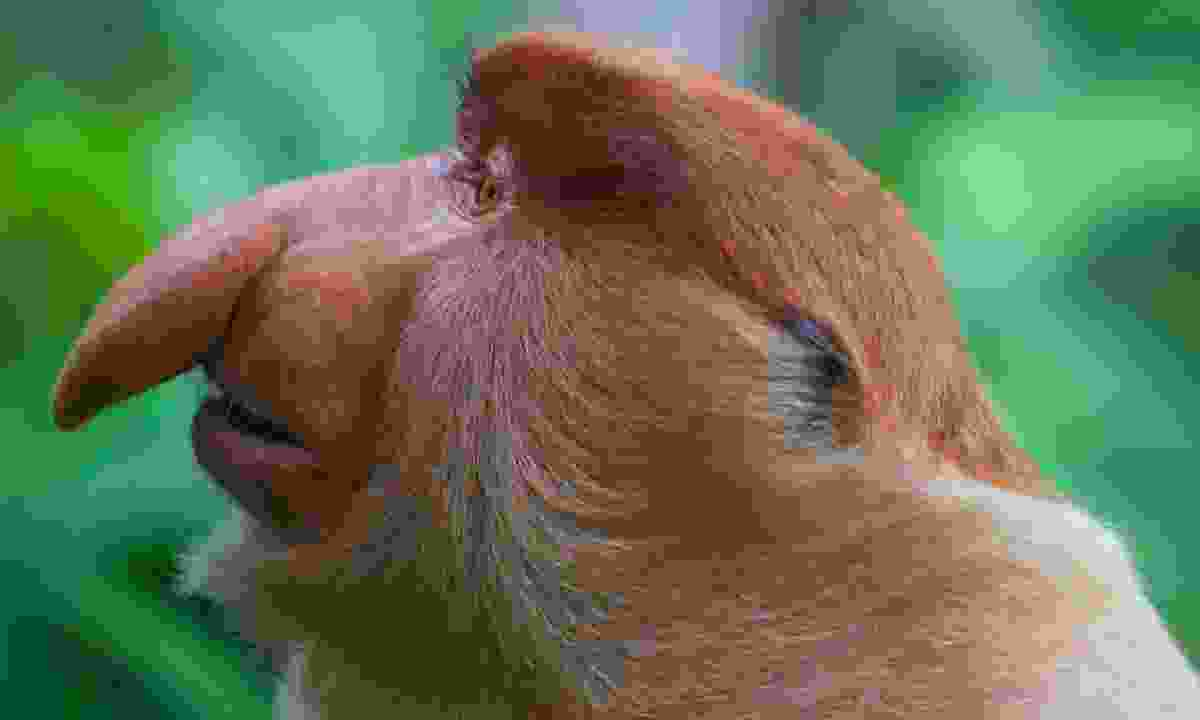 Proboscis monkey (Dreamstime)