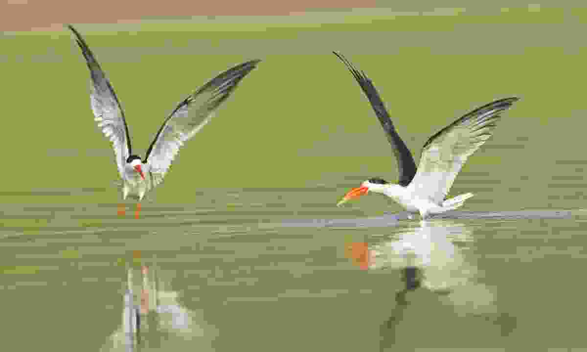 Indian skimmers on the Chambal river (Dreamstime)