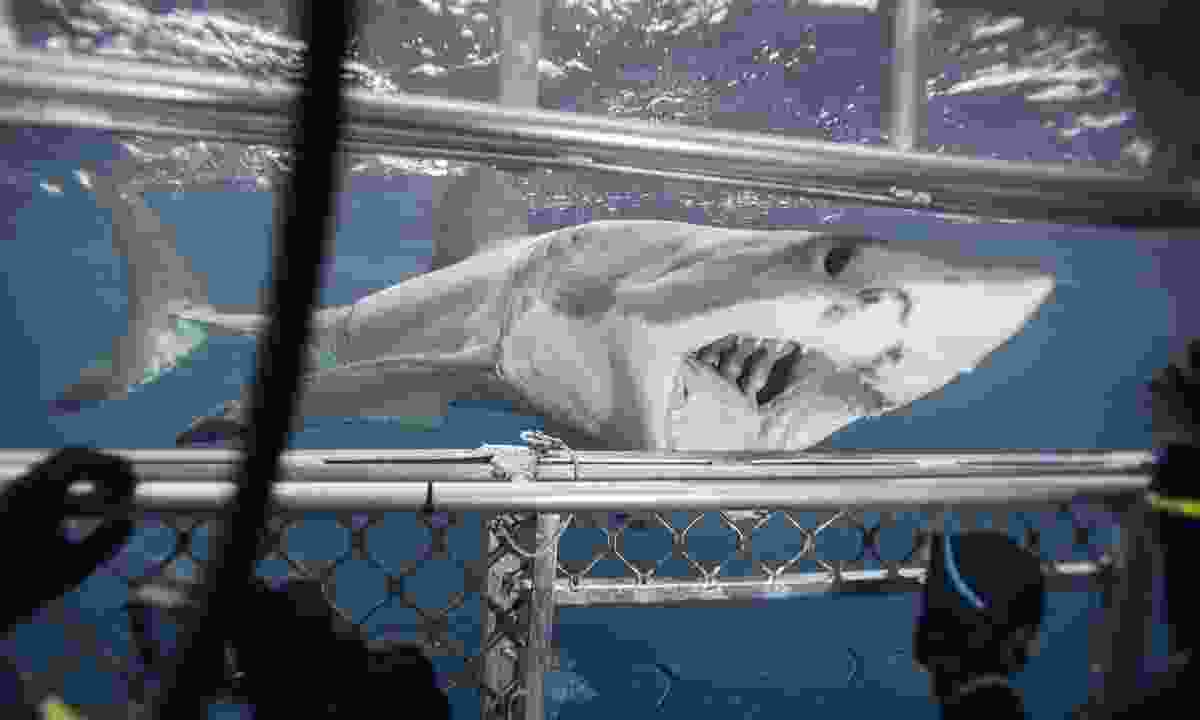 Cage diving with sharks in South Australia (Dreamstime)