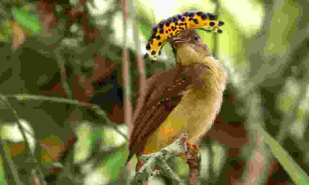 A female royal flycatcher (Dreamstime)