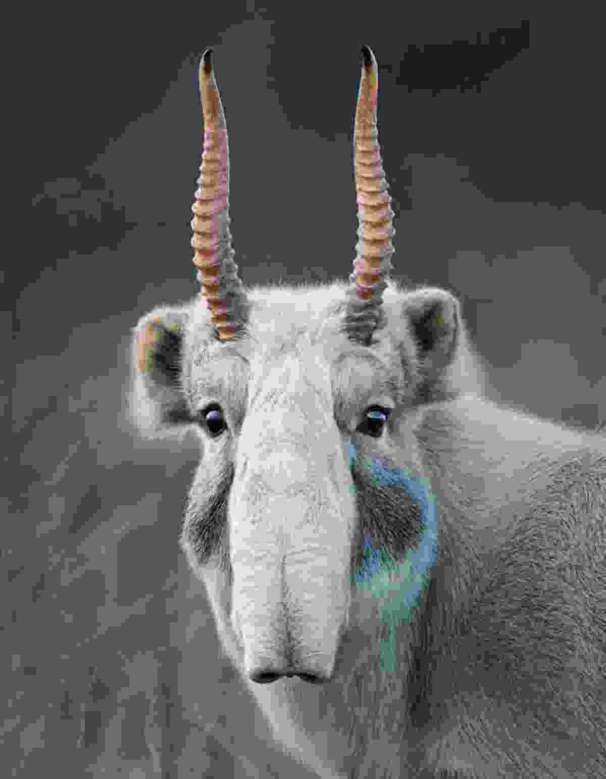 A saiga antelope (©Tim Flach)