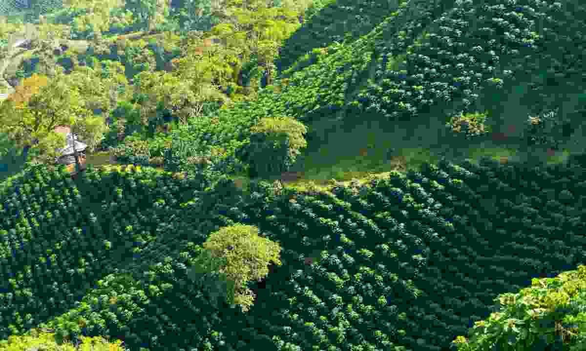 Coffee plantation near Manizales (Shutterstock)