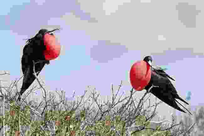 Frigatebirds on Genovesa Island, Ecuador (Shutterstock)
