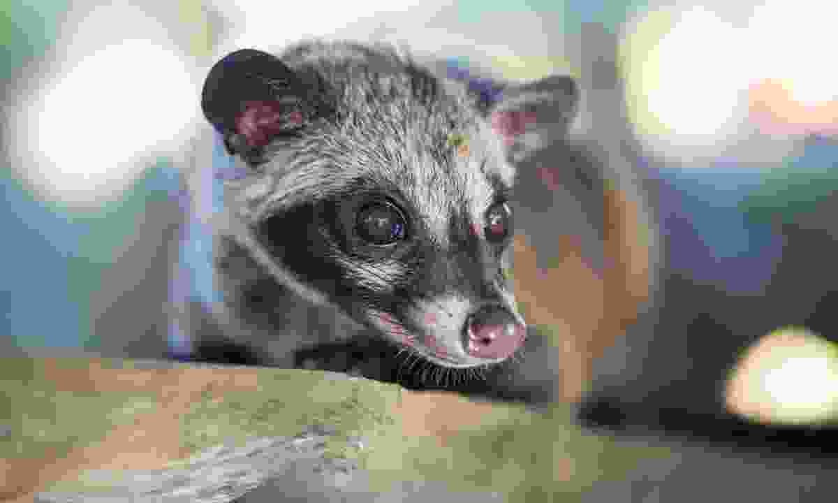 A civet contemplating another coffee berry (Dreamstime)