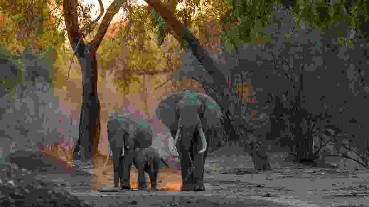 Elephants walking in evening light, Zimbabwe (Margot Raggett)