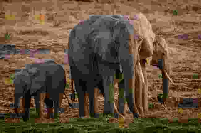 Elephants roam Ruaha National Park, Tanzania (Shutterstock)