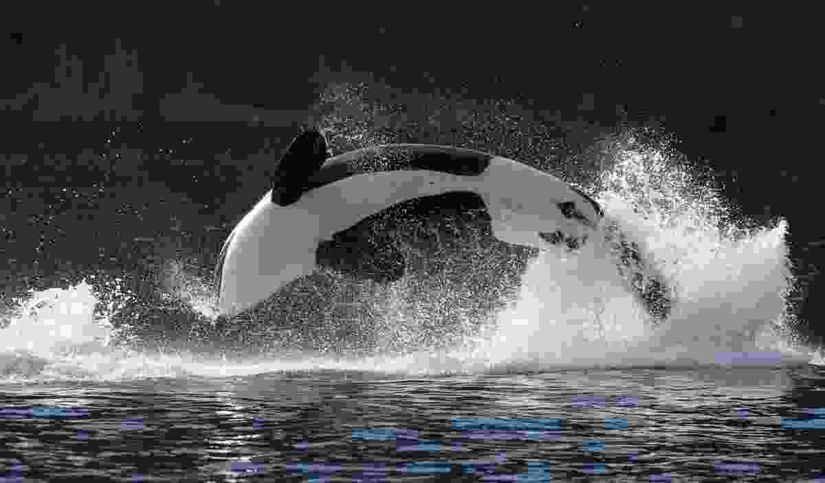 Orca jumping out of the water near the Lofoten Islands (Shutterstock)