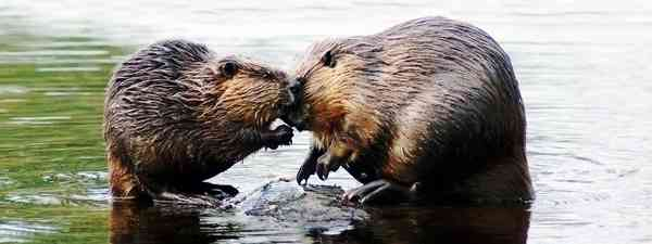 Caption competition: Beavers