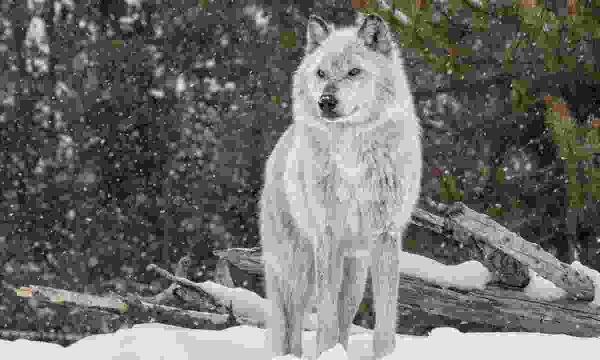 Grey Wolf, America (Shutterstock)