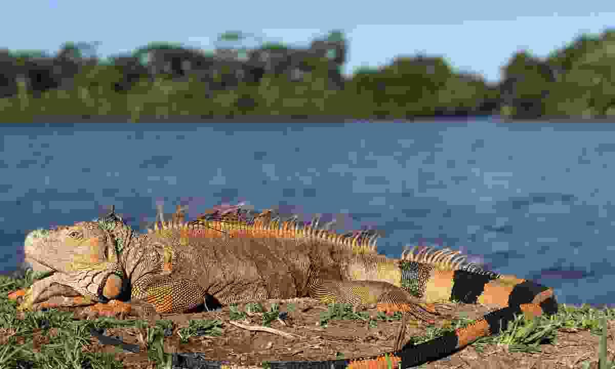 Iguanas love to sunbathe in Costa Rica (Shutterstock)