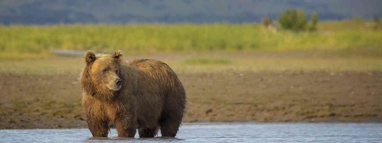Grizzly bears in Katmai National Park, Alaska (Dreamstime)