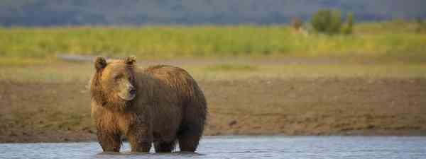Grizzly bears in Katmai National Park, Alaska (Dreamstime)