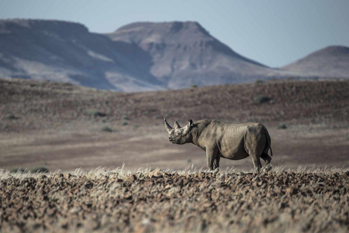 Black rhino in Namibia (Willem Dekker)