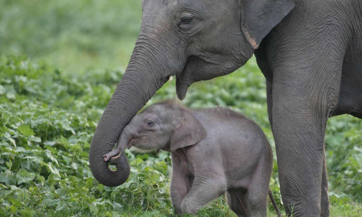 Elephants gather in Udawalawe NP (Gehan de Silva Wijeyeratne)
