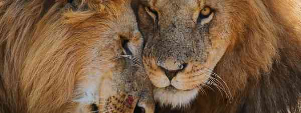 Affectionate lion brothers in Mara Naboisho Conservancy, Kenya (Graeme Green)