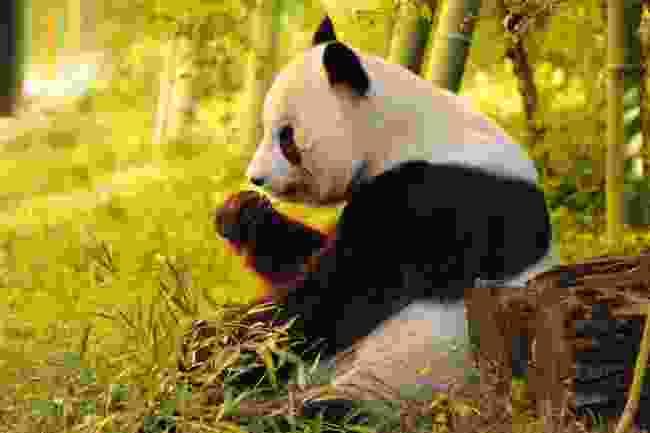 A panda eating bamboo (Shutterstock)