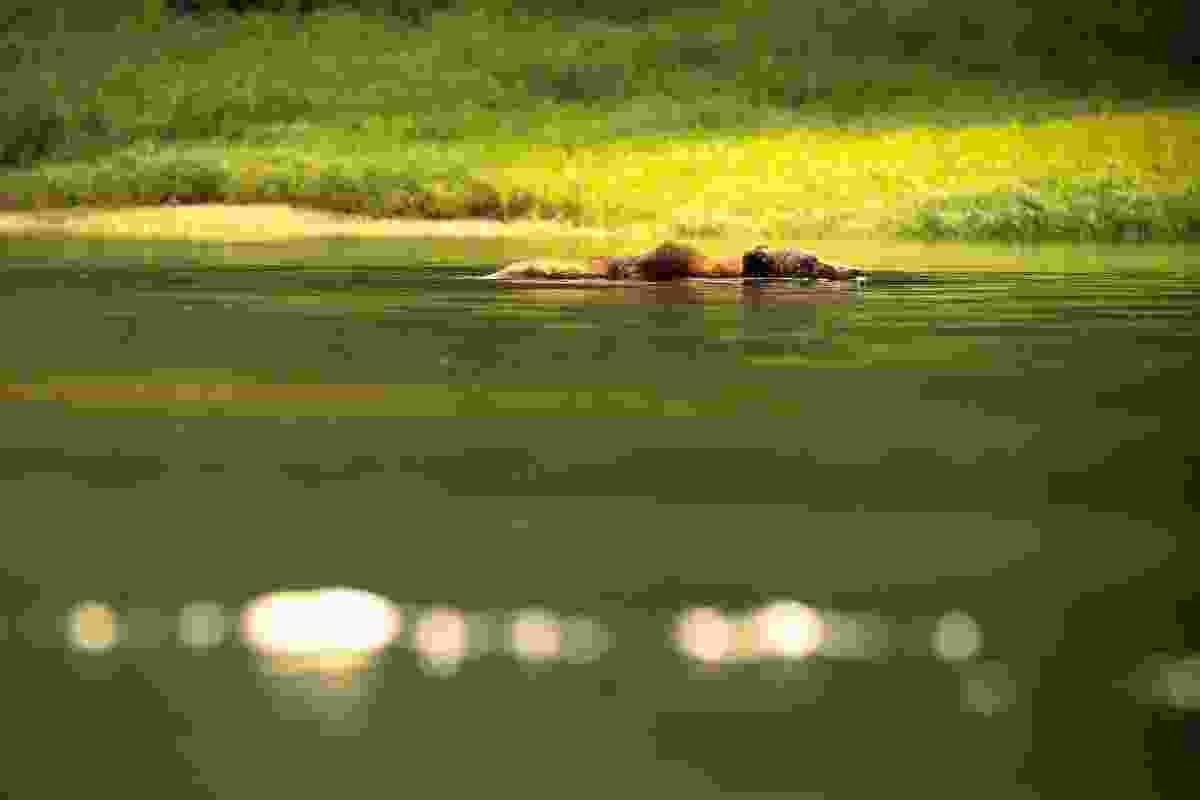 A swimming bear (Phoebe Smith)