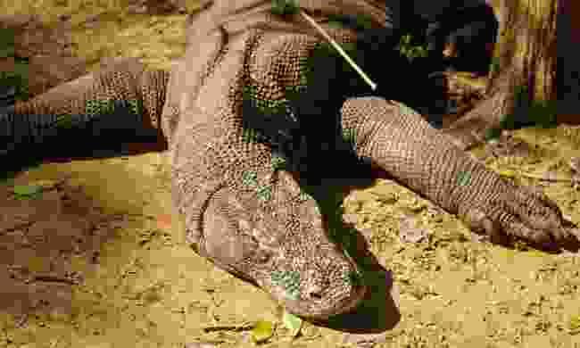 A legendary Komodo dragon (Mark Stratton)