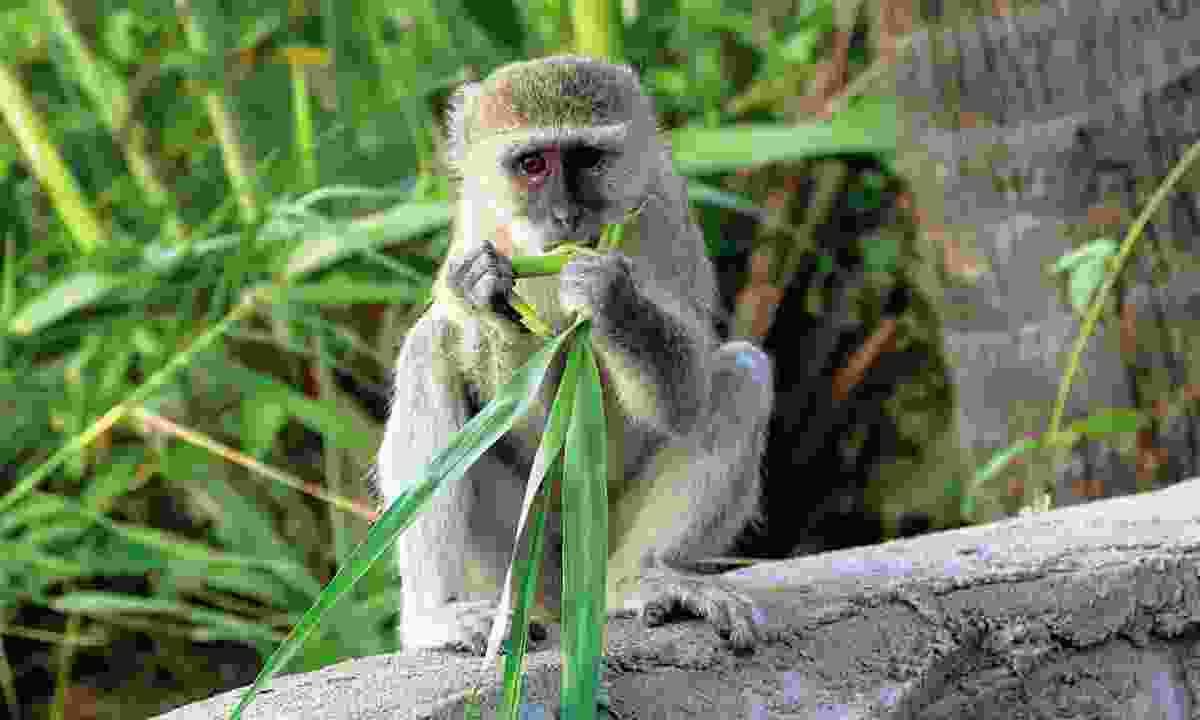 A vervet monkey (Sarah Gilbert)