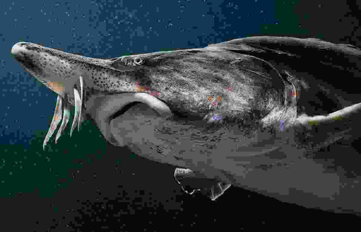 A beluga sturgeon (©Tim Flach)