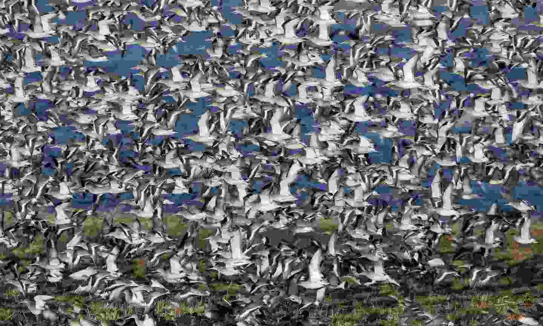 Black-tailed godwit in flight at Welney (Dreamstime)