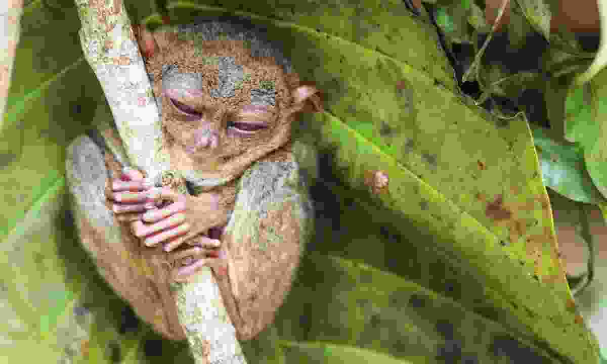 A tarsier. In the wild (Dreamstime)