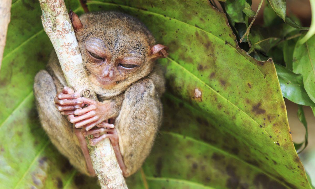A tarsier. In the wild (Dreamstime)