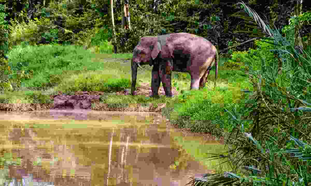 A pygmy elephant on the Kinabatangan River (Dreamstime)