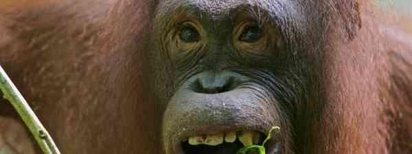 Orangutan (Chris Rauch)