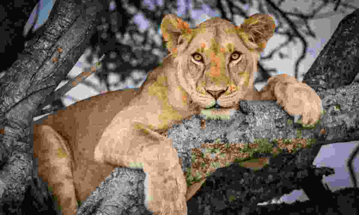 A lioness resting in a tree (Jon McCormack)