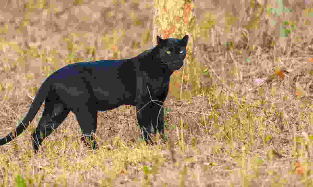 A black panther in Nagarhole (Bharath Shreyas Photography/Wildlife Worldwide)