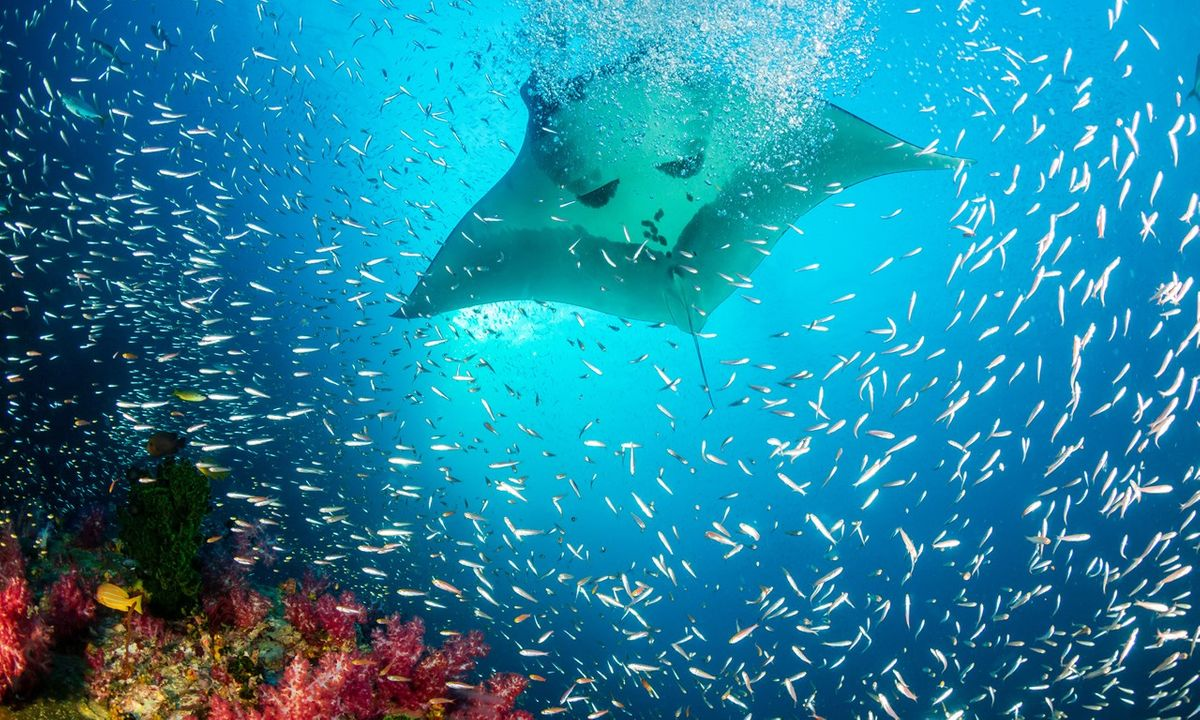Everything You Need To Know about Swimming with Manta Rays