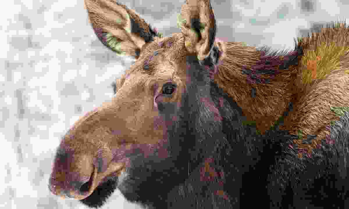 A moose calf in Yukon Wildlife Preserve, Yukon, Canada (Dreamstime)