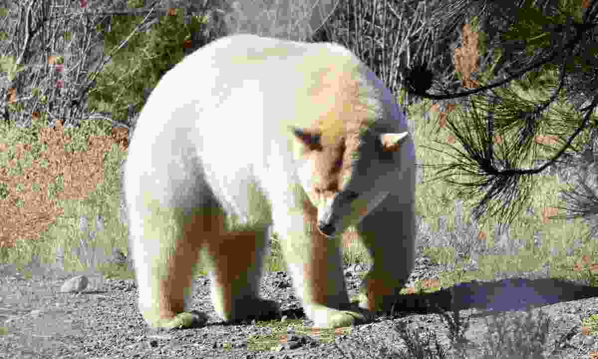 A white spirit bear (Dreamstime)