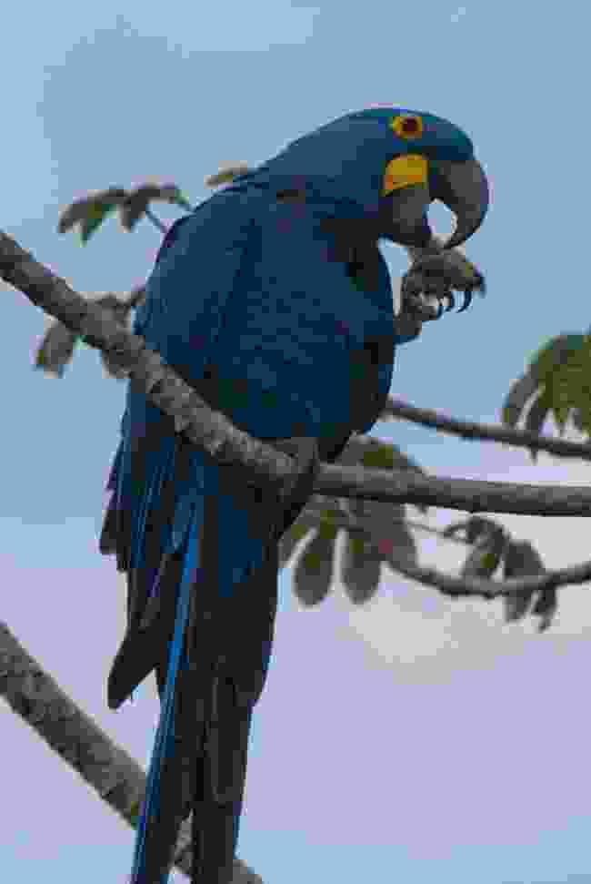 Hyacinth Macaws (Simon Chubb)