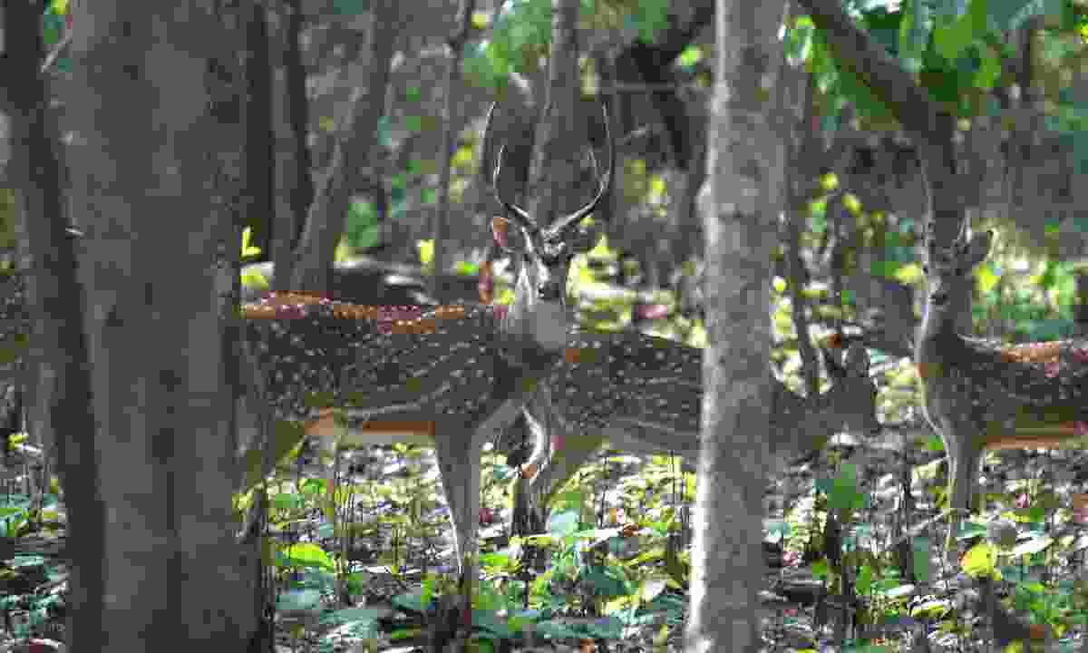 Chittal deer (Phoebe Smith)