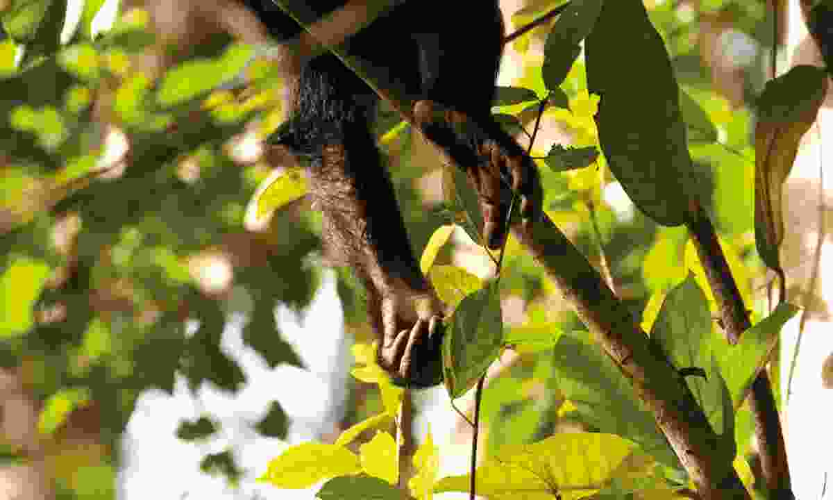 Budongo's chimps also pluck leaves from the trees (Emma Gregg)