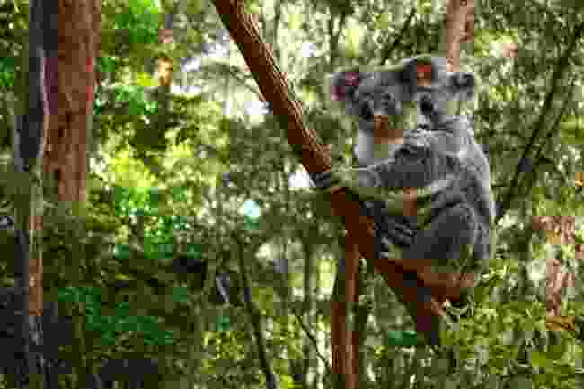 Koalas are among the wildlife worst affected by the Australian bushfires (Shutterstock)