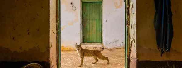 A lynx on the prowl in Spain (Sergio Marijuán)