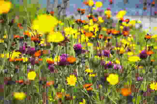 Machair wildflowers in bloom in Scotland (Shutterstock)