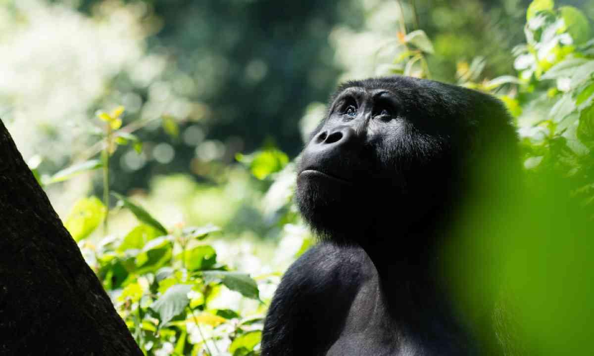 Mountain gorilla in the Bwindi Impenetrable Forest (Shutterstock)