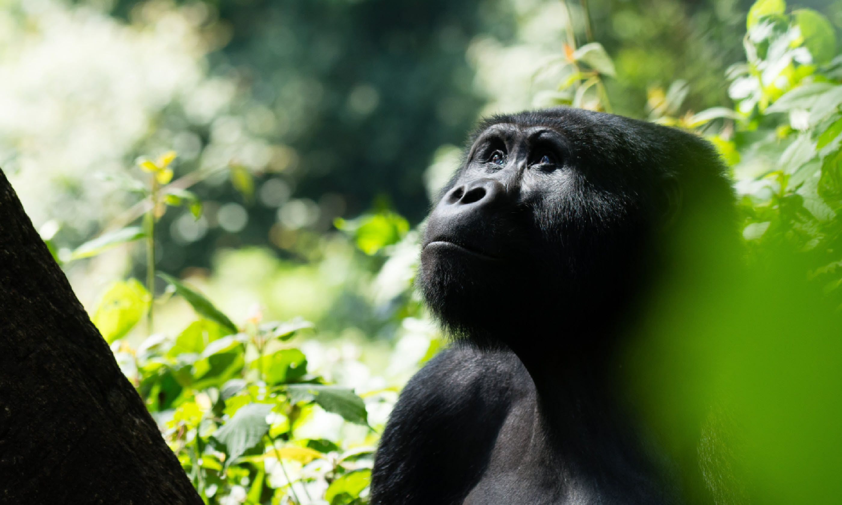 Mountain gorilla in the Bwindi Impenetrable Forest (Shutterstock)