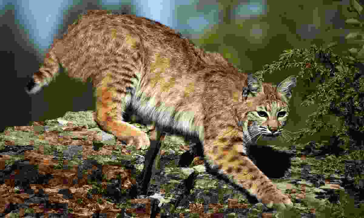 Lookout for bobcats in Cooper Mountain Nature Park (Shutterstock)