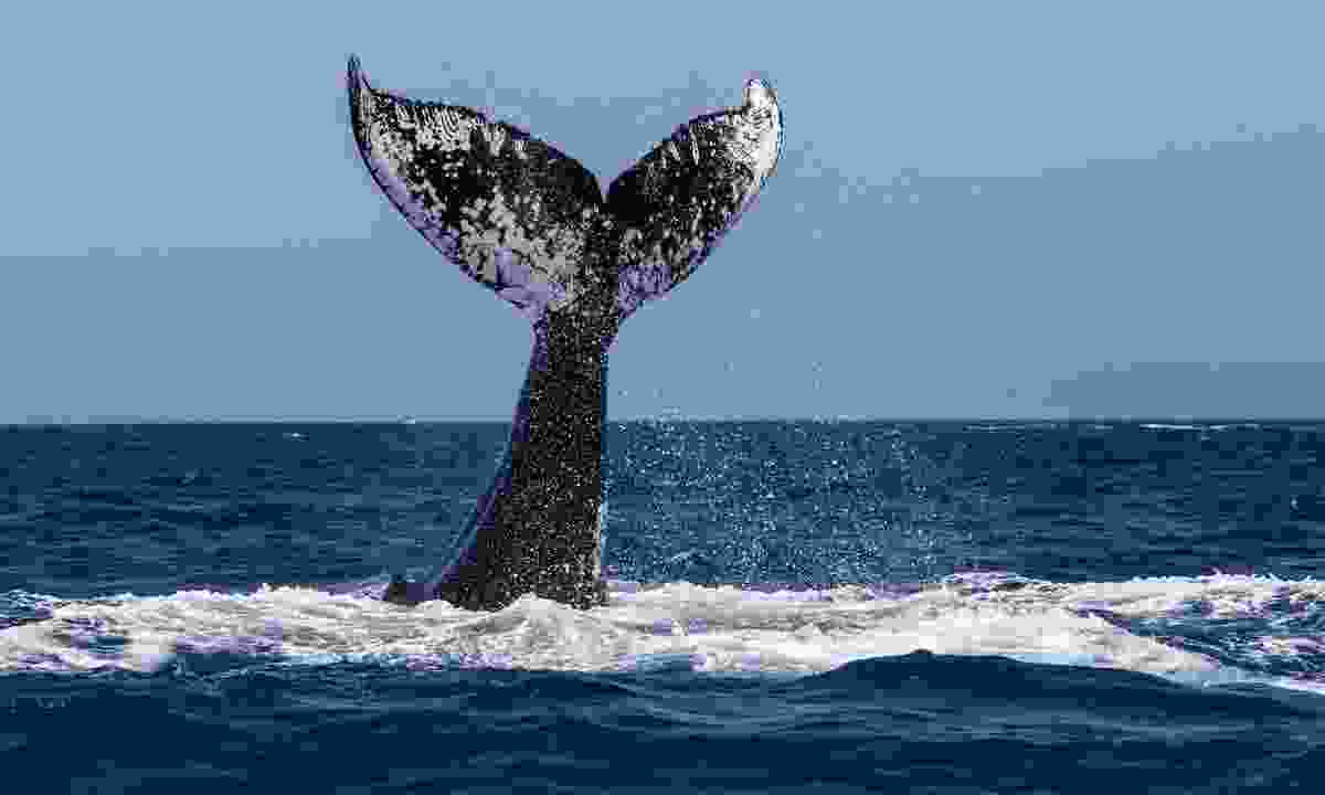 Watch humpback whales in Newfounland (Shutterstock)