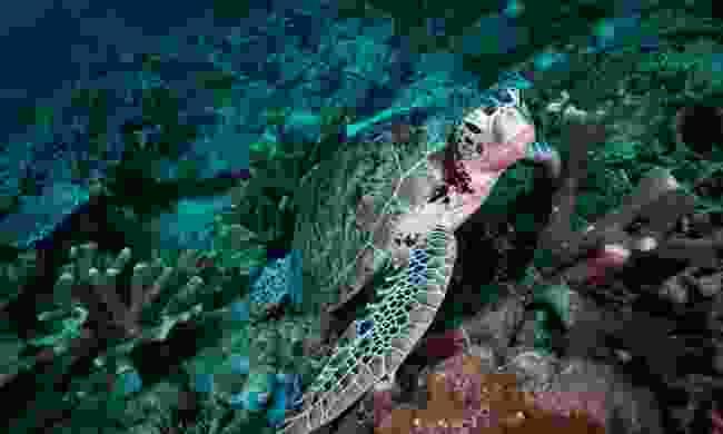 A hawksbill turtle in Lankayan Island (Shutterstock)