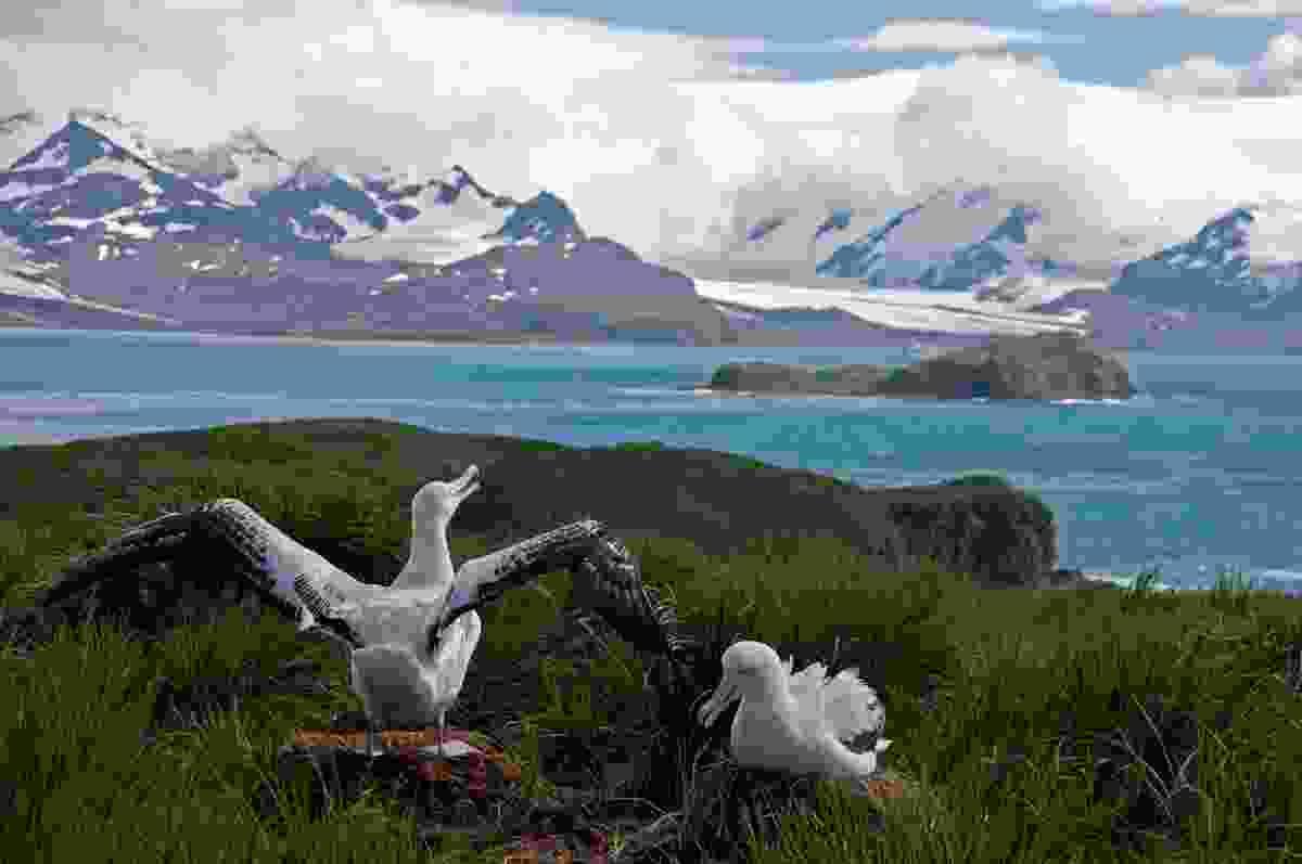 Albatross nesting in South Georgia (Shutterstock)