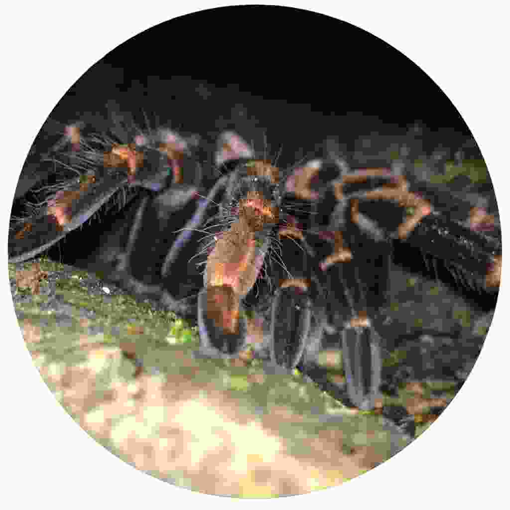 A tarantula spotted during a nightwalk (Shutterstock)
