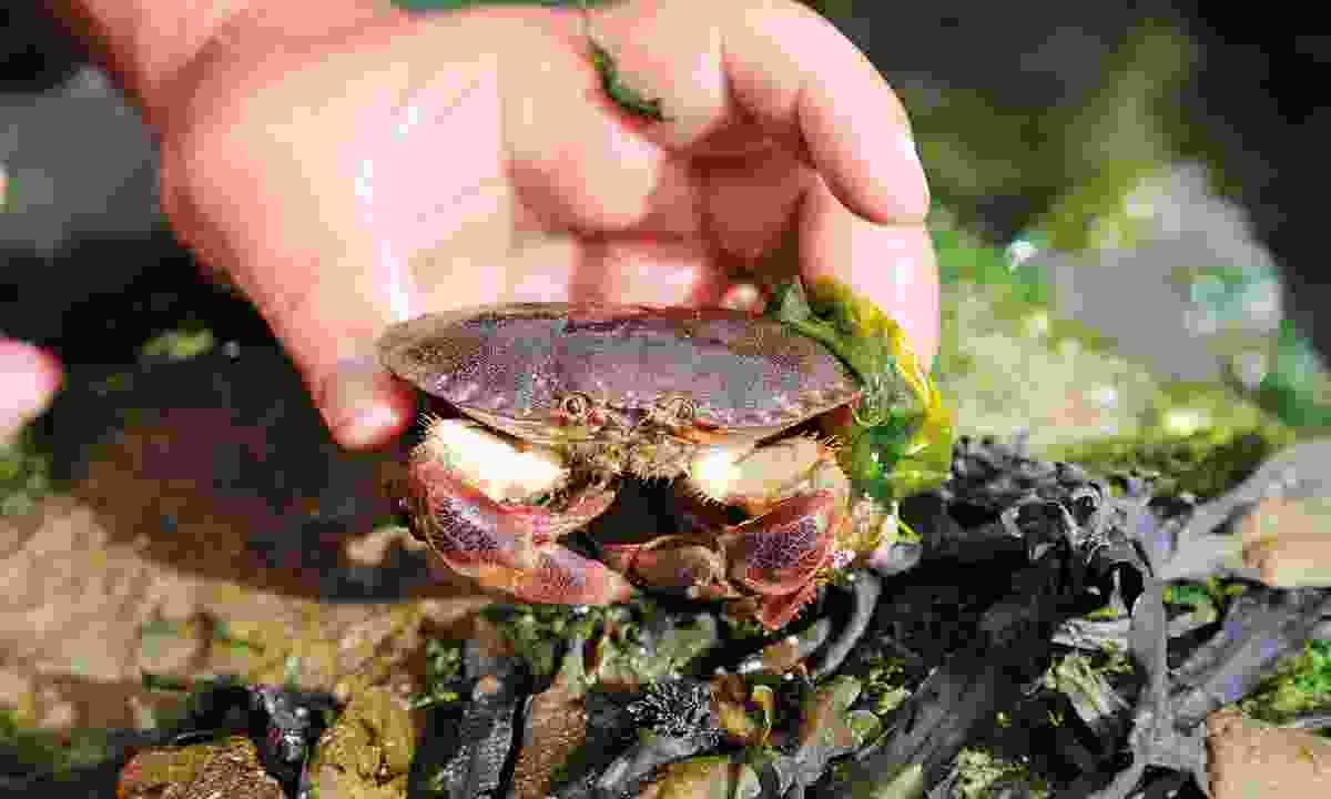 Edible crab found in the rock pools of Pendine Sands (Graeme Greene)